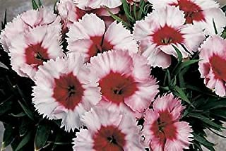 Dianthus Parfait Super Strawberry 250 Seeds Need More? Ask