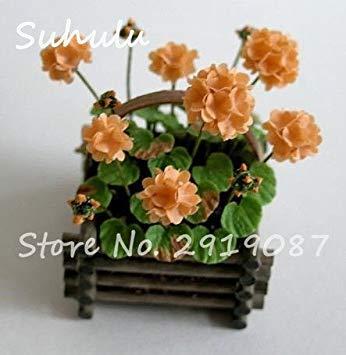 Vistaric 100pcs Rare Mini Geranium Graines Vivaces Belles Fleurs Graines Pelargonium Peltatum Graines disponibles bonsaï mélange en pot couleurs 19