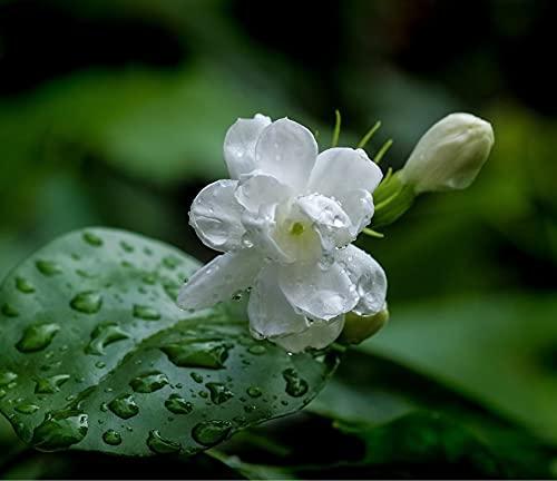 Jazmín Semillas Especies Raras Embellecer El Medio Ambiente Plantar en otoño Misteriosas flores cortadas-500 Pcs