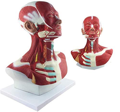 Modelo De Anatomía Muscular De Cabeza Y Cuello - Modelo De Cabeza Anatómica Humana con Identificación Digital - Modelos Científicos De Anatomía Humana para Ayuda A La Formación Médica