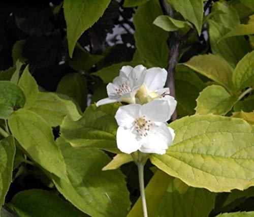 Gelber Europäischer Pfeifenstrauch Aureus - Gold Bauernjasmin - Falscher Jasmin - Philadelphus coronarius Aureus