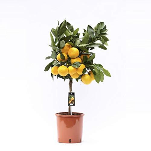 Satsuma-Mandarine 80 cm - Citrus unshiu - Satsumabaum - Citrus