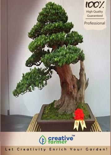FERRY Hohe Wachstum Seeds Nicht NUR Pflanzen: Seed großblättrige steineibe Bonsai Seed (5 pro Paket)
