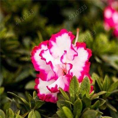 GETSO 120 pcs/Sac azalée Japonais Bonsai, Rhododendron azalée, azalée Fleur Bonsaï Jardin Bricolage Seedling Maison Plante Facile à cultiver: 7
