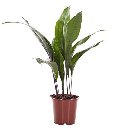 Aspidistra elatior | Schusterpalme | Zimmerpflanze | Höhe 60-65 cm | Topf-Ø 15 cm
