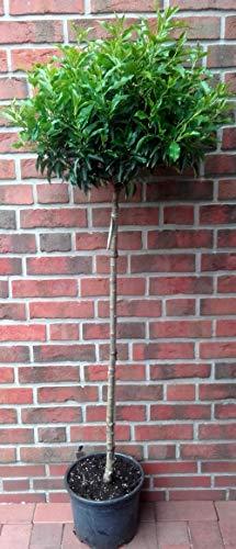 Lorbeerkirsche - Stämmchen: 120-130 cm, Prunus lusitanica Angustifolia, immergrün + Dünger