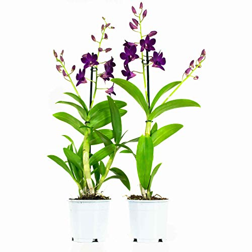 Choice of Green - Ensemble de 2 Dendrobium Sa Purple Happiness - Orchidée - Plante d'intérieur en