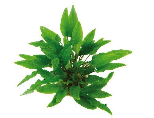WFW wasserflora XL In-Vitro Grüner Wasserkelch/Cryptocoryne wendtii grün