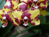 Yellow Mackerel Orchid Red Purple Flower Violet-20 Inch By 30 Inch Laminated Poster With Bright Colors And Vivid Imagery-Fits Perfectly In Many Attractive Frames