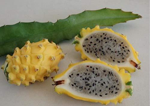 UEYR Dragón Amarillo Semillas de Frutas - Palora - Hylocereus megalanthus - Pitaya - Carne Blanca - Pitahaya - Dragonfruit - Semillas de Frutas exóticas