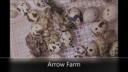 30 Hatching Eggs - Mixed Colors - Coturnix Quail