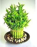 20 piezas de semillas de bambú de la suerte Elija variedad Dracaena completa Decoración de jardín...