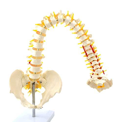 MXX Biegbares Menschliches Wirbelsäulenmodell, Hochwertiges PVC mit Spinalnervenwurzel Und Halsschlagader