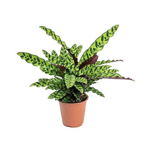 Rattlesnake Live Plant Calathea lancifolia Easy House Plant 4' Pot Indoor -...
