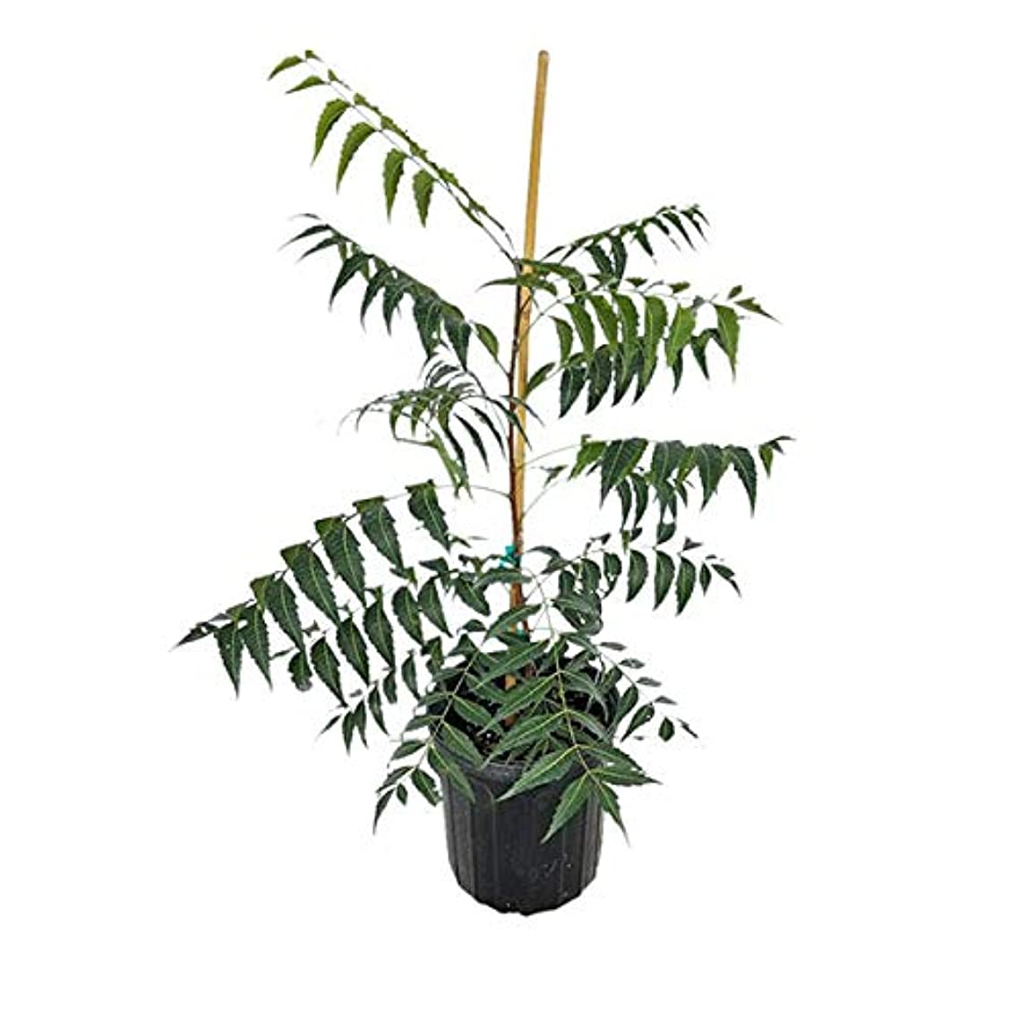 PlantVine Azadirachta Indica, Neem Tree, Indian Lilac - Large - 8-10 Inch Pot (3 Gallon), Live Plant