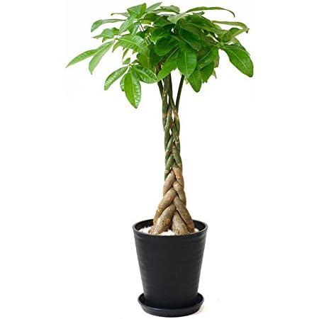 【セラアート鉢】選べる観葉植物 8号鉢 (パキラ, ブラック)