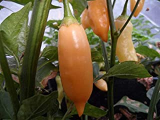 Sugar Rush Peach Pepper Seeds,(Capsicum baccatum) Fruits are Wonderfully Sweet (10 Seeds) by BasqueStore