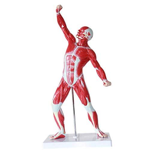 NOSSON Modelo de Figura Muscular Humana anatómica, Modelo Muscular de anatomía en Miniatura, anatomía Muscular Superficial y Estructura del Cuerpo 1/4 de tamaño Natural, 50 cm para la Escuela