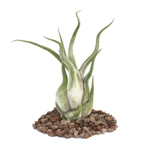 Planta tillandsia caput-medusae, tamaño grande