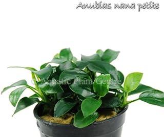 Buy2get1free,same plant Anubias Barteri Var. 'Nana Petite' Potted Plant Ps207 Live Aquarium Plant