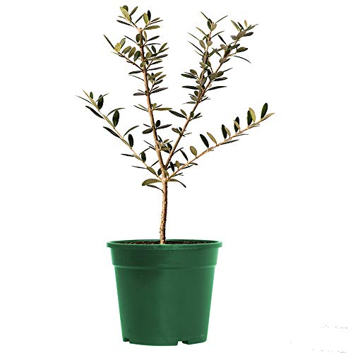 American Plant Exchange Arbequina Olive Tree Live Plant, 6' Pot, Delectable Fruit