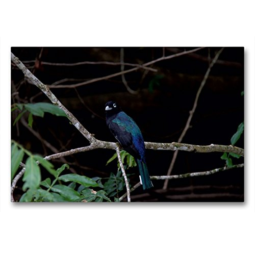 Calvendo Premium Lienzo 90 cm x 60 cm horizontal, Negro Cabeza robón del paraíso de pájaros Costa Rica imagen sobre bastidor, listo en lienzo auténtico, impresión sobre lienzo animales
