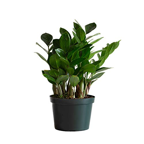 LIVETRENDS/Urban Jungle ZZ (Zamioculcas) in 6-inch Grower Pot, (Live Plant)