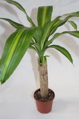 Tronco del Brasil (1 tronco) - Planta viva de interior
