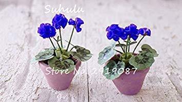 Vistaric 100pcs Rare Mini Geranium Graines Vivaces Belles Fleurs Graines Pelargonium Peltatum Graines disponibles bonsaï en pot mélange couleurs 8