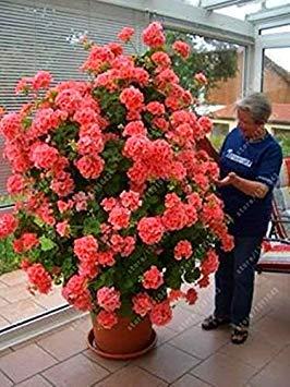 Vistaric 100 pcs/sac bonsaï escalade graine de géranium, graines de fleurs en pot rares, cour et balcon plante en plein air pour la maison jardin 2