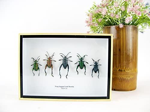 asiahouse24 Echte präparierte Insekten im 3D Schaukasten aus Holz. Vogelspinne, Skorpion, Käfer, H&ertfüßer & vieles mehr. (5X Frog-Legged Leaf Beetle - Sagra sp, 18x13x3cm)