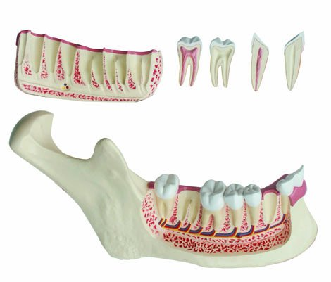 OFFicial store Walter Products B10236 Lower Jaw Model Wide Height 5