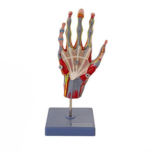Mehrteiliges und zerlegbares anatomisches Hand Skelett Model | mit Knochen, Muskeln, Sehnen, Bänder, Nerven und Gefäße | lebensgroßes anatomisches Handmodell mit Stativ | Anatomie Modell | Lehrmittel