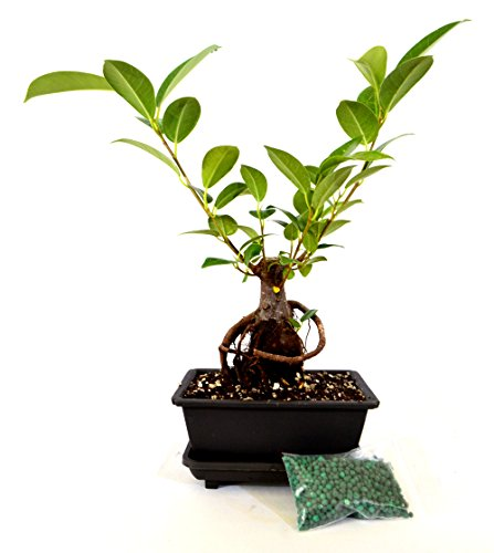 9GreenBox - Live Ginseng Ficus Bonsai Tree Bonsai - Live Plant Ornament Decor for Home, Kitchen, Office, Table, Desk - Attracts Zen, Luck, Good Fortune - Non-GMO, Grown in The USA