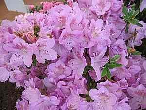 Rhododendron hybr. Ledikanense