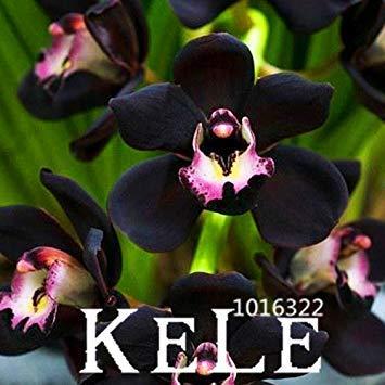 Vista 100 Teile/los Einzigartige Schwarze Cymbidium Faberi Blumensamen Garten Blühende Pflanzen Orchidee Samen, OMRXKB