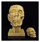 JKFZD Anatomical Skull Head Modelo Muscular para Art Artificial Skull Art Sketch Replica Resin Crafts Modelo de Cabeza de Esqueleto Masculino
