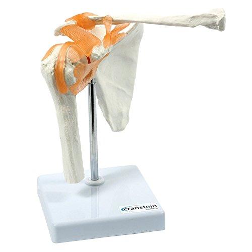 Cranstein A-332 Schultergelenk Modell - Anatomie, Skelett