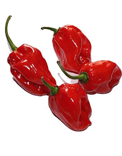 Habanero Red (Eine der schärfsten Chilis der Welt) 20 Samen