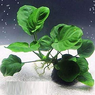 Anubias Barteri Coin Leaves Live Aquarium Plants Freshwater Rhizome 3 DAYS LIVE GUARANTEED By Mainam