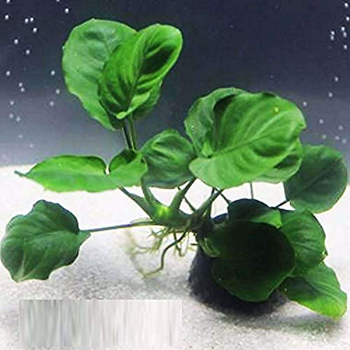 Anubias Barteri Coin Leaves Live Aquarium Plants Freshwater Rhizome 3 Days Live Guaranteed by Mainam