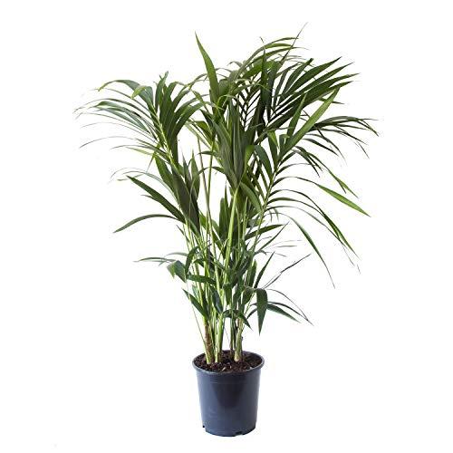 Zimmerpflanze von Botanicly – Kentiapalme – Höhe: 125 cm, 8 Triebe – Howea Forsteriana