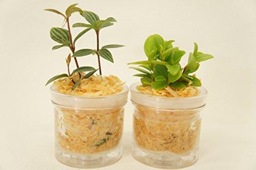 【純国産ひのきを使用した観葉植物。ひのきの香りに癒されます。自動給水だからお世話が簡単です】 観葉植物 ハイドロカルチャー 自動給水器 ひのき 2個セット