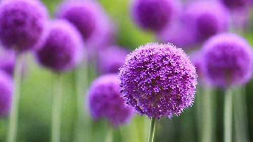 Giant Allium Giganteum Onion Flower Seeds, Dreamlike Pink Flower for Garden Spring Plant Decoration -50pcs (Purple)