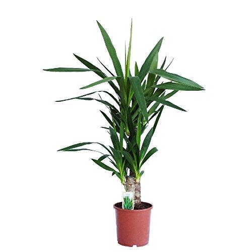 Dominik Blumen und Pflanzen, Yucca - Palme, Palm - Lilie, Yucca elephantipes, 2 - stämmig, 2 - 3 Liter Topf, ca. 60 cm hoch, 1 Zimmerpflanze, Kübelpflanze