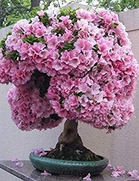 Shoppy Star Shoppy étoiles: 10 graines japonais Floraison Fleur de cerisier Sakura Bonsaï Bonsai