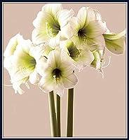 アマリリスの屋内植栽*大きな花は非常に明る,優雅な姿勢,情熱的で気ままな,真っ白で、聖なる、高貴な、自家製,周囲12-16センチ