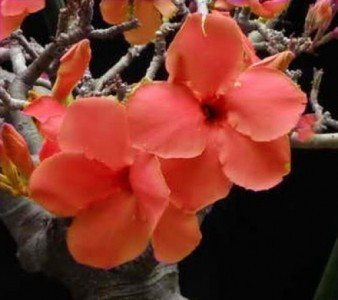 Wüstenrose (Adenium obesum) 5 Samen Orange