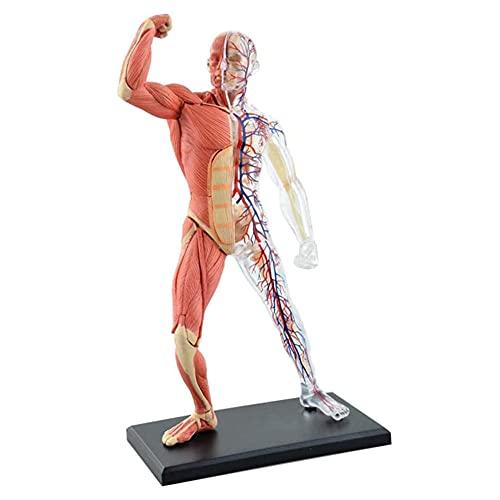 XGYUII Anatomía humana - Modelo de músculo y esqueleto humano