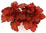 Zoom IMG-1 heuchera rossa 2 piante vere